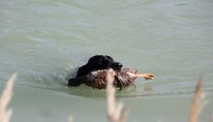 Dexter de Valcreole en el Agua Cobrando Pato
